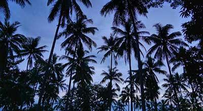 foret-jungle-cocotier-thailande